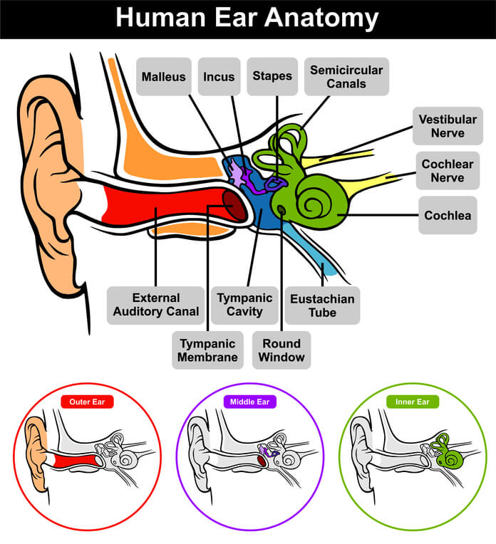 Human Ear Anatomy