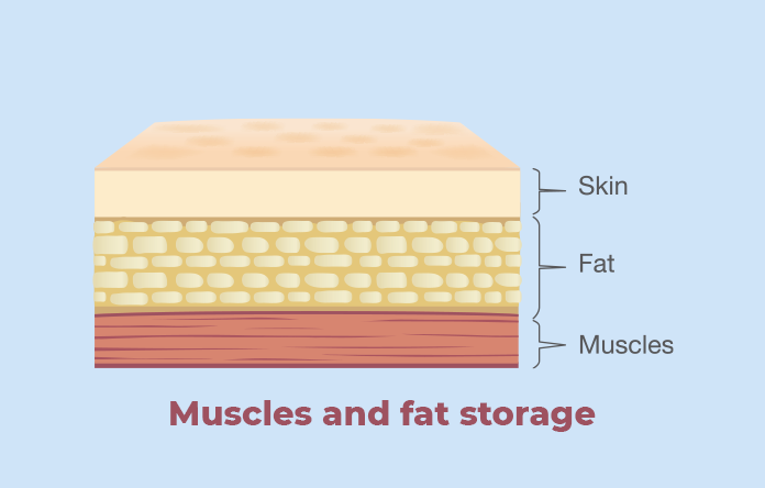 Muscles and Fat Storage